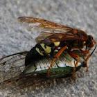 Cicada Killer Hornet