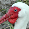 White Ibis with gular sac (or wattle)