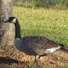 Canada Goose ( Canadian Goose)