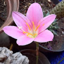 Flor de mayito