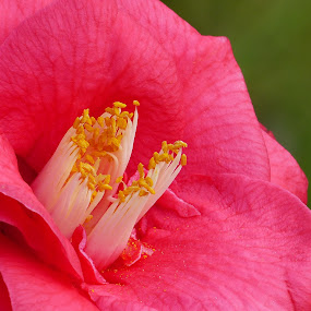Camellia explosion... by Francesco Altamura - Flowers Flower Gardens ( flower garden, red flower, single flower, flower closeup, nature close up, garden, flower, garden flower,  )