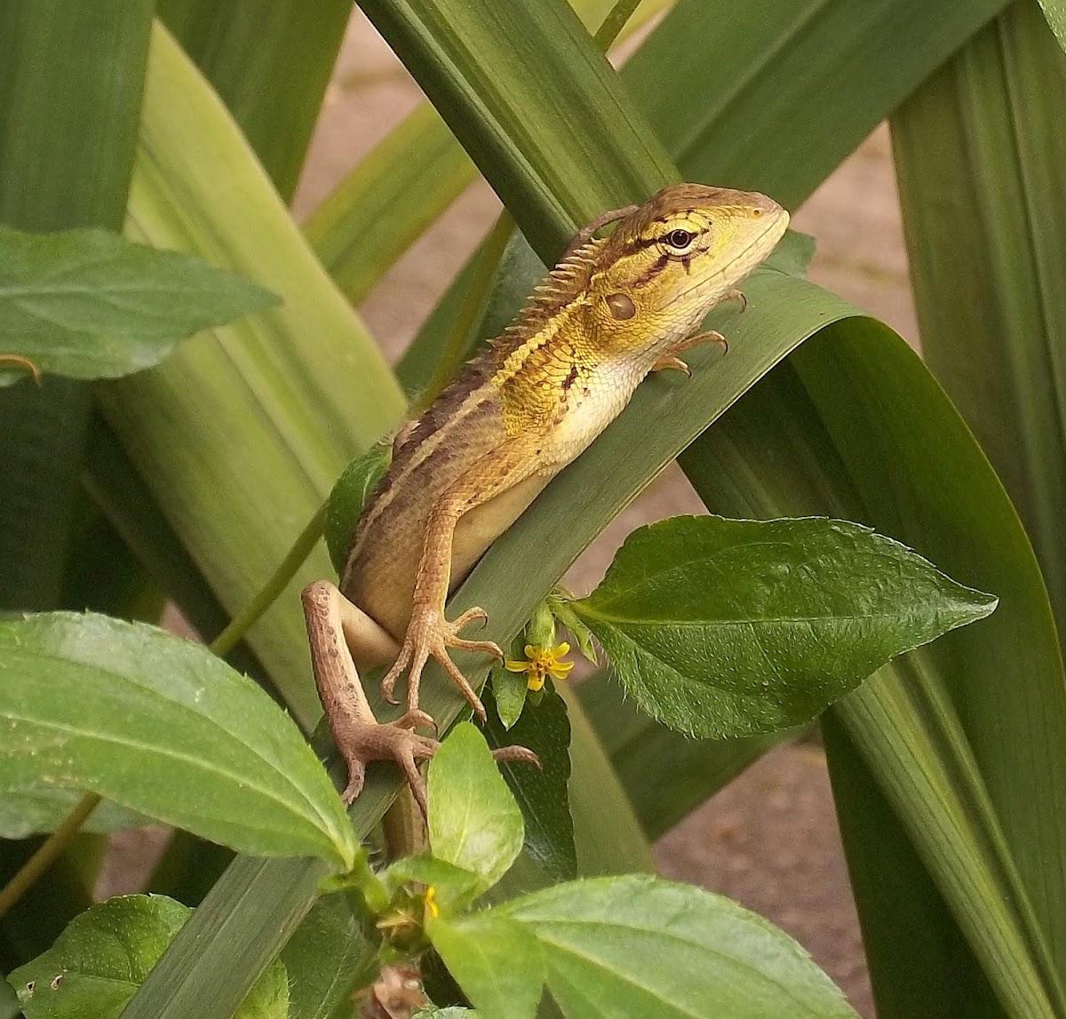 Calotes lizard