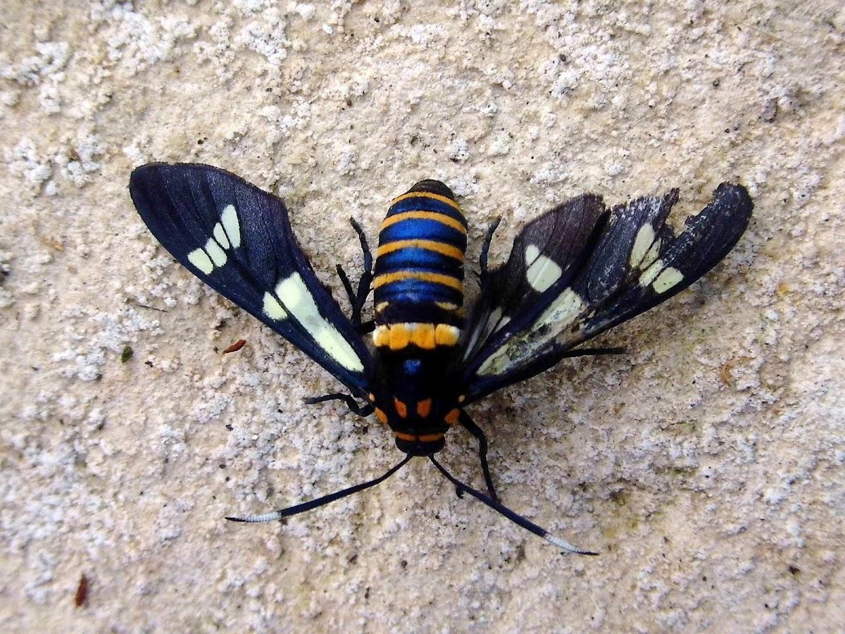 Black-banded Wasp Moth
