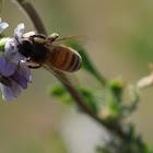 Alfalfa and Western Honey Bee