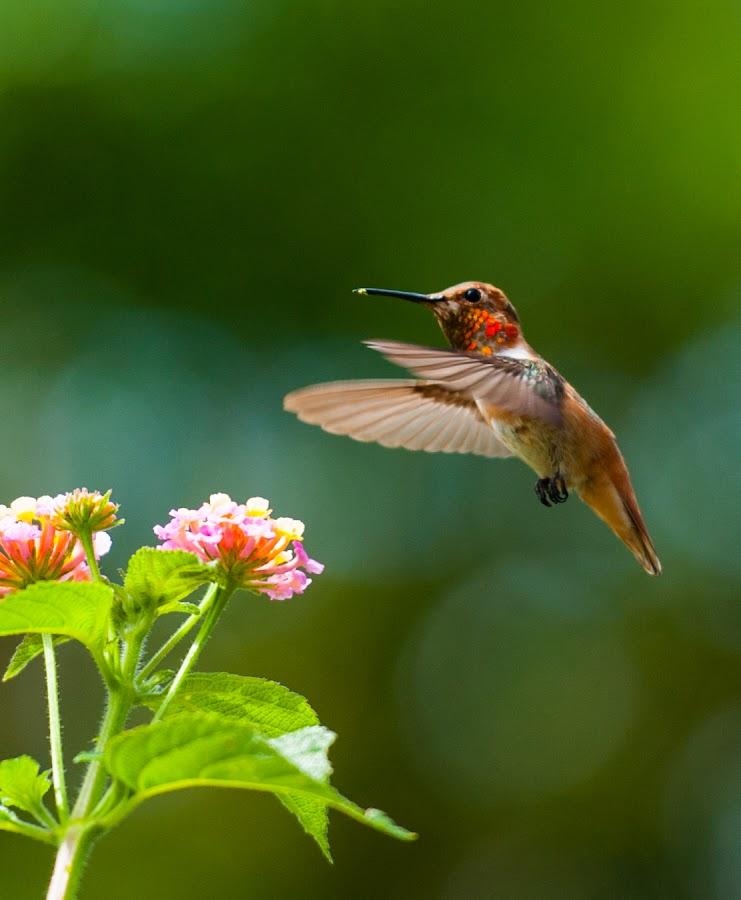 Napkin Please by Kevin Mummau - Novices Only Wildlife ( bird, flight, pollen, hummingbird, pollenation, still, flower )