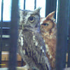 Screech Owls,  gray & red  phases