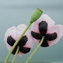 Rosy Poppy