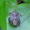Bronze Orange Bug (adult)