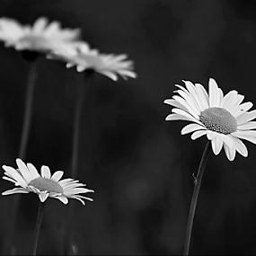 by Darlene Lankford Honeycutt - Black & White Flowers & Plants ( b&w, deez, daisies, dl honeycutt, flowers,  )