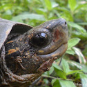 Spotted Black Turtle