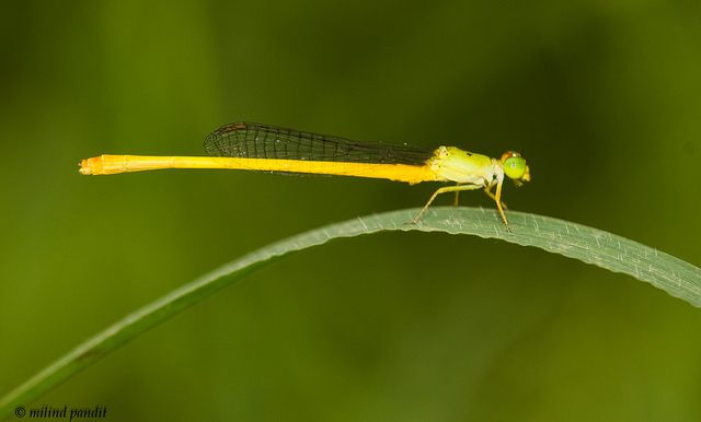 Coromandel Marsh Dart