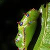 Common Leopard Butterfly (pupa)