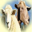 Sheep & Goat Feed Formulation icon