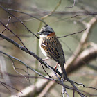 Chincol / Rufous-collared Sparrow