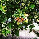 Monarch sighting in Balboa Park
