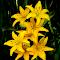 Lilies After the Rain.jpg