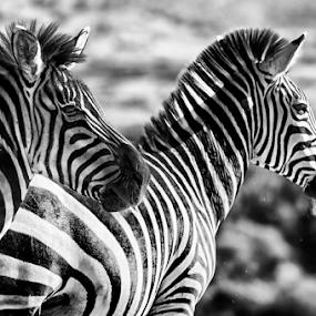 Zebras by Cristobal Garciaferro Rubio - Black & White Animals ( b/w, lines, zebra, stripes, zebras )