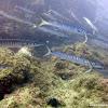 Espetón, barracuda mediterránea