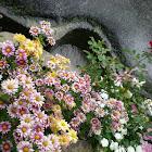 Multi-colored flower