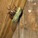 cicada with molt