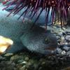 Wolf eel (juvenile)