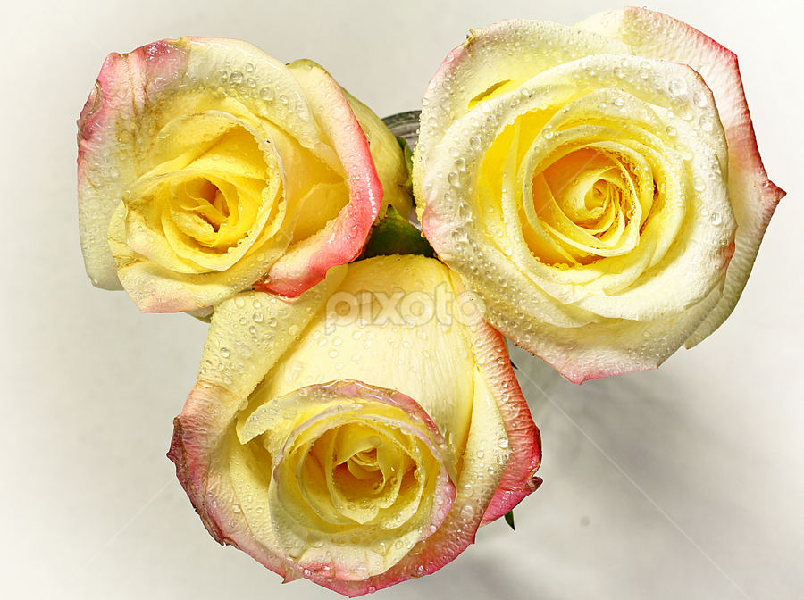 by Dipali S - Flowers Flower Arangements ( plant, detail, gift, colorful, bright, botany, one, object, beauty, botanical, buds, pretty, blossom, close, macro, nature, fresh, pink, head, closeup, flower, orange, blooming, decoration, flora, beautiful, bloom, render, rose, season, color, rosa, freshness, natural, garden, floral, growth,  )