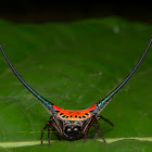 Curved Spiny Spider