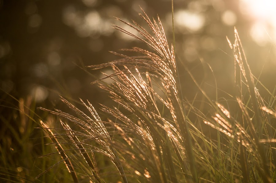 Maiden grass at sunset by Janice Poole - Nature Up Close Leaves & Grasses ( grasses, nature, fall, backlighting, sun )
