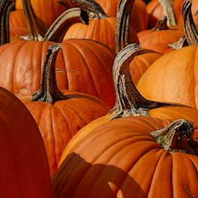 Pumpkin Batch by Robin Amaral - Nature Up Close Gardens & Produce ( pumpkin patch, new england, pumpkins, pumpkin close up, stems, harvest, halloween )