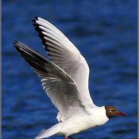Gull over water. by Stuart Finley - Animals Birds