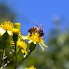 Honey Bee (Abelha)