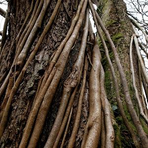 Indian rope tree.jpg