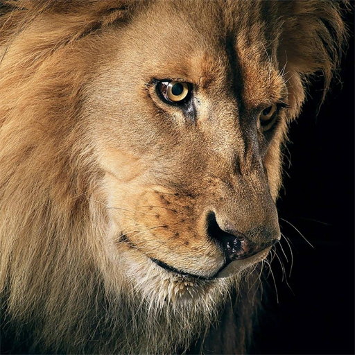 Amazing Lions Wallpapers