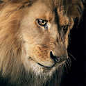 Amazing Lions Wallpapers icon
