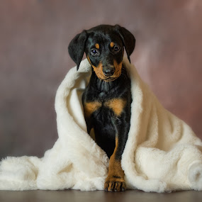 Alexander by Becky Kempf - Animals - Dogs Portraits ( puppy, dog, doberman,  )