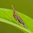 Long-nosed Planthopper
