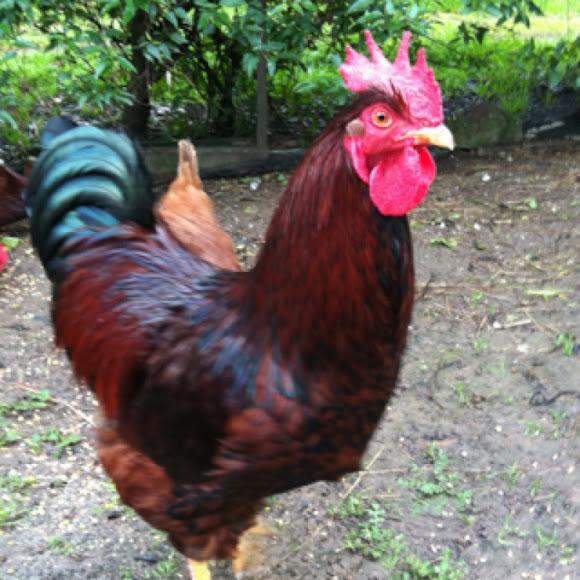 Pictures Rhode Island Red Roosters