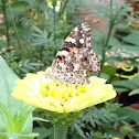 Painted lady (on a zinnia)