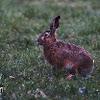 European Hare - Zajíc polní