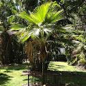 Loulu (Pritchardia palm)