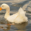 Aylesbury duck or Pekin duck