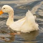 Aylesbury duck or Pekin duck