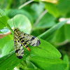 Common Scorpionfly / Obična kljunarica ♀