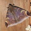 Catocalinae, Erebidae