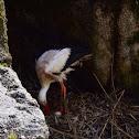 White stork - Cicogna bianca