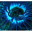 tube-dwelling anemone , Ανεμώνη της θάλασσας