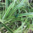 Frog Legged Leaf Beetle
