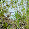 Striated or Green backed heron