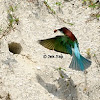 Blue throated bee-eater