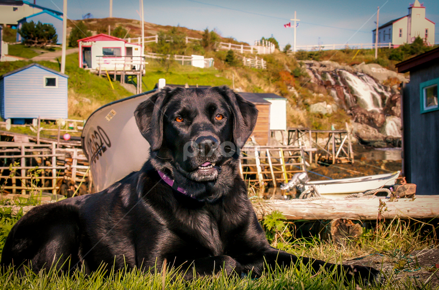 Molly the Labrador by Eugene Ball - Animals - Dogs Portraits ( labrador retriever, newfoundland, lab, dog canine,  )
